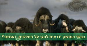 כבשי מושק