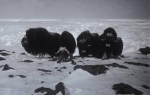 כבשי מושק באלסקה