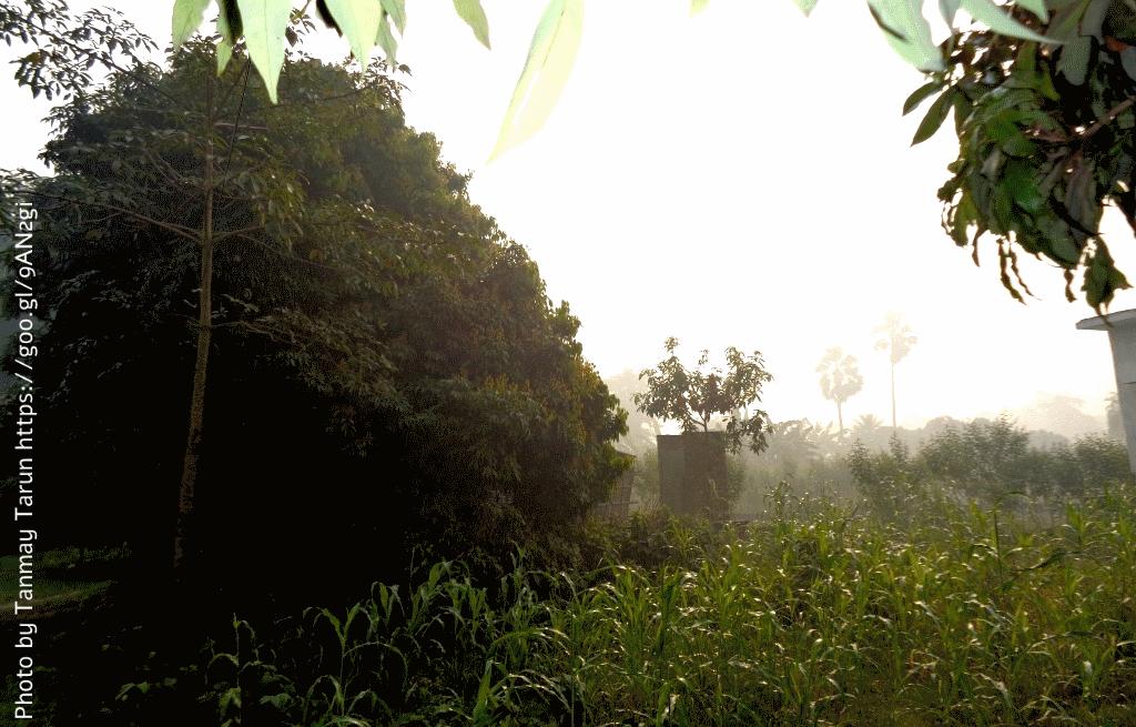 שעת בוקר במטע ליצ'י ב-Muzaffarpur