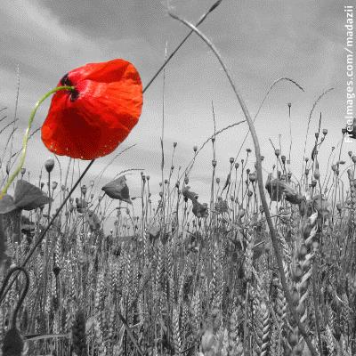 פרג אחד אדום על רקע שדה אפור