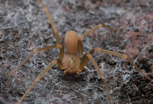 ששן חום הוא עכביש ארסי